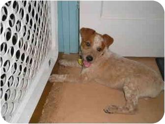 Australian Cattle Dog Mix Puppy for adoption in Phoenix, Arizona - Finley