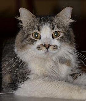 Domestic Mediumhair Cat for adoption in Glendale, Arizona - Jake