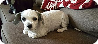 Poodle (Standard) Mix Dog for adoption in Rancho Cucamonga, California - Esther