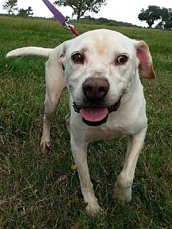 Labrador Retriever Mix Dog for adoption in Huntington, New York - Stan - N