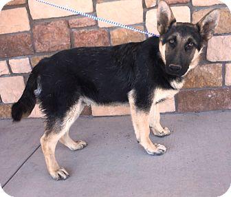German Shepherd Dog Puppy for adoption in Artesia, New Mexico - Salsa