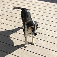Australian Cattle Dog Mix Dog for adoption in Kittery, Maine - Thunder