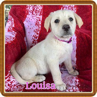 Shepherd (Unknown Type)/Labrador Retriever Mix Puppy for adoption in Haggerstown, Maryland - Louisa