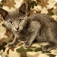 Domestic Shorthair Kitten for adoption in Aurora, Colorado - Wolfe