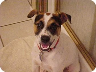 Jack Russell Terrier Puppy for adoption in Cantonment, Florida - Krypto