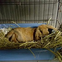Adopt A Pet :: Cocoa Puff (pending) - Baton Rouge, LA