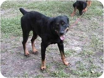 Rottweiler Dog for adoption in Dothan, Alabama - Kelly
