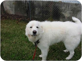 Great Pyrenees Dog for adoption in Kyle, Texas - Orion