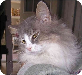 Domestic Longhair Cat for adoption in Aldie, Virginia - Kayla