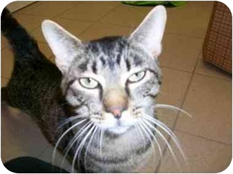 Domestic Shorthair Cat for adoption in New Port Richey, Florida - Dude