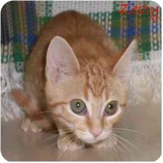 Domestic Shorthair Kitten for adoption in Ozark, Alabama - Zesty