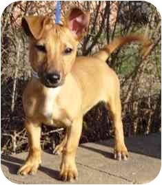 Miniature Pinscher/Dachshund Mix Puppy for adoption in Osseo, Minnesota - Mickey