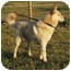 Photo 2 - Jindo/Shiba Inu Mix Puppy for adoption in Southern California, California - Blondie