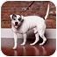 Photo 2 - American Bulldog/Terrier (Unknown Type, Medium) Mix Dog for adoption in Owensboro, Kentucky - Blitz
