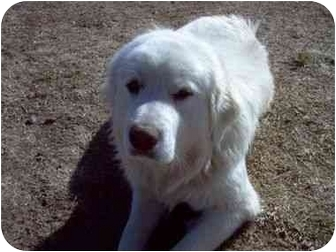 Great Pyrenees Dog for adoption in Kyle, Texas - Sasha