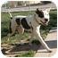 Photo 2 - American Pit Bull Terrier/American Bulldog Mix Dog for adoption in Meridian, Idaho - Hudson