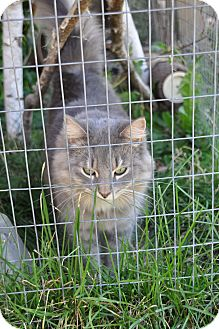 Domestic Longhair Cat for adoption in Saint Albans, Vermont - Tequilla