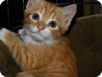 Domestic Shorthair Kitten for adoption in Stafford, Virginia - Freddie