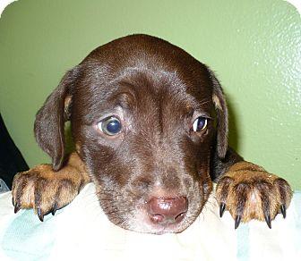Labrador Retriever Mix Puppy for adoption in Eastpoint, Florida - reese