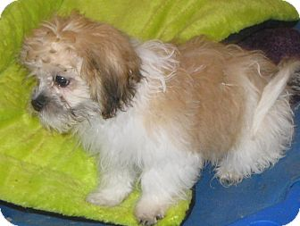 Shih Tzu/Bichon Frise Mix Puppy for adoption in Prole, Iowa - Sable