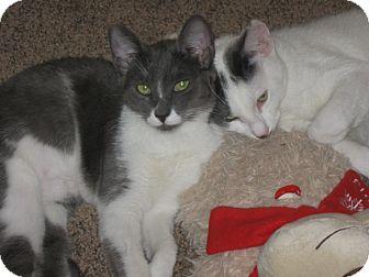 Domestic Shorthair Kitten for adoption in Laguna Woods, California - GigiandCameron