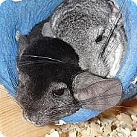 Adopt A Pet :: Hershey & Cheerio - Virginia Beach, VA