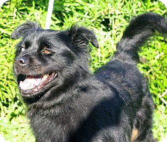 Australian Shepherd/Chow Chow Mix Dog for adoption in Daytona Beach, Florida - Lacey