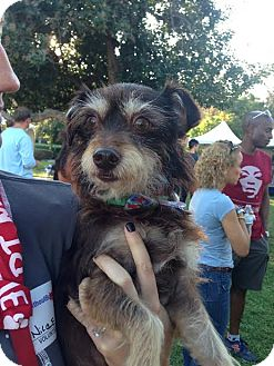 Terrier (Unknown Type, Small) Mix Dog for adoption in Encino, California - Sharky