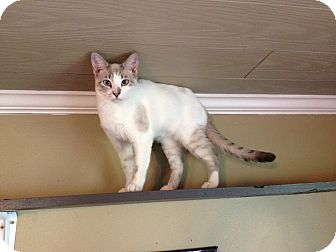 Siamese Kitten for adoption in Carencro, Louisiana - Betty