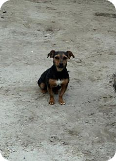 Jack Russell Terrier/Chihuahua Mix Dog for adoption in Blountstown, Florida - Starr