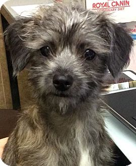 Terrier (Unknown Type, Small) Mix Puppy for adoption in Los Angeles, California - KATE (video)