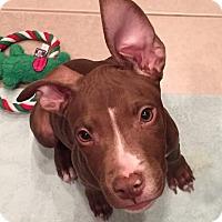 Adopt A Pet :: Lox - Southampton, PA
