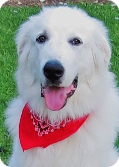 Great Pyrenees Puppy for adoption in Irvine, California - Buck