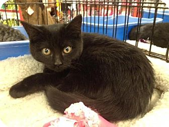 Domestic Shorthair Kitten for adoption in Sterling Heights, Michigan - Erica