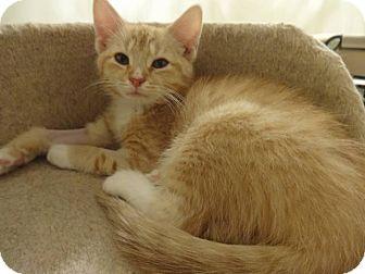 Domestic Shorthair Kitten for adoption in Colmar, Pennsylvania - Rocky