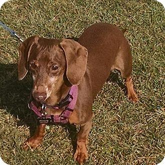 Dachshund Dog for adoption in Wooster, Ohio - TONKA