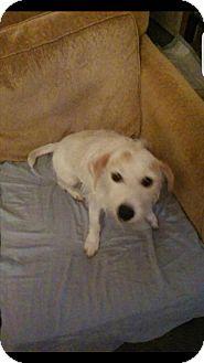 Jack Russell Terrier/Jack Russell Terrier Mix Dog for adoption in Woodbridge, Virginia - Lucky Lulu
