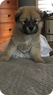 German Shepherd Dog/Chow Chow Mix Puppy for adoption in Chicago, Illinois - Madeline