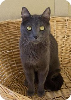 Russian Blue Cat for adoption in Walnut Creek, California - Greyson