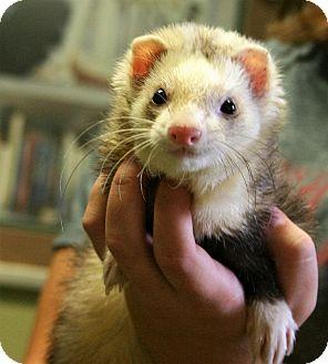 Ferret for adoption in Hastings, Nebraska - Slinky