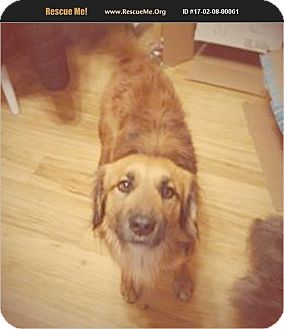 German Shepherd Dog/Dachshund Mix Dog for adoption in Madison, Tennessee - Chewbacca - therapy dog
