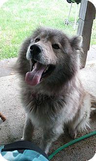 Samoyed/Chow Chow Mix Dog for adoption in Chewelah, Washington - Max