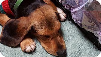 Beagle Dog for adoption in Dawsonville, Georgia - Otis