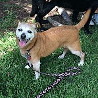 Chihuahua/Beagle Mix Dog for adoption in Santa Barbara, California - Mimi