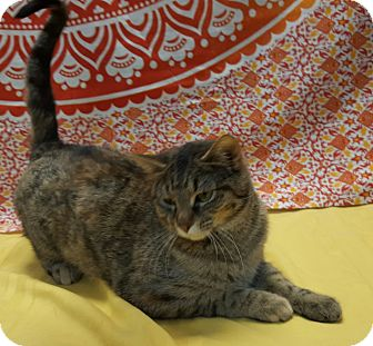 Domestic Shorthair Cat for adoption in Hawk Point, Missouri - Tinsel