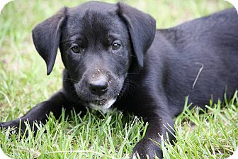 Labrador Retriever Mix Puppy for adoption in Southbury, Connecticut - Sully
