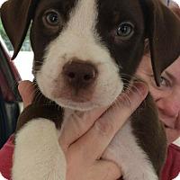 Adopt A Pet :: Tennison - Boston, MA