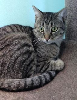 Domestic Shorthair/Domestic Shorthair Mix Cat for adoption in Fairfax, Virginia - Ace