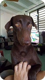 Labrador Retriever/Doberman Pinscher Mix Dog for adoption in New York, New York - Rosa