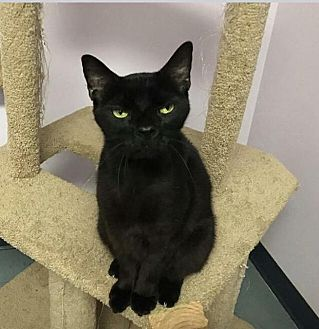 Domestic Mediumhair Cat for adoption in Ocala, Florida - Fang